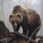 День медведя
