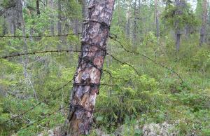 Колючая проволока на десятилетия опутавшее дерево. Фото сделано на местах боев Карельского фронта. (1)